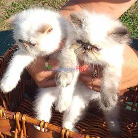 Kocięta perskie